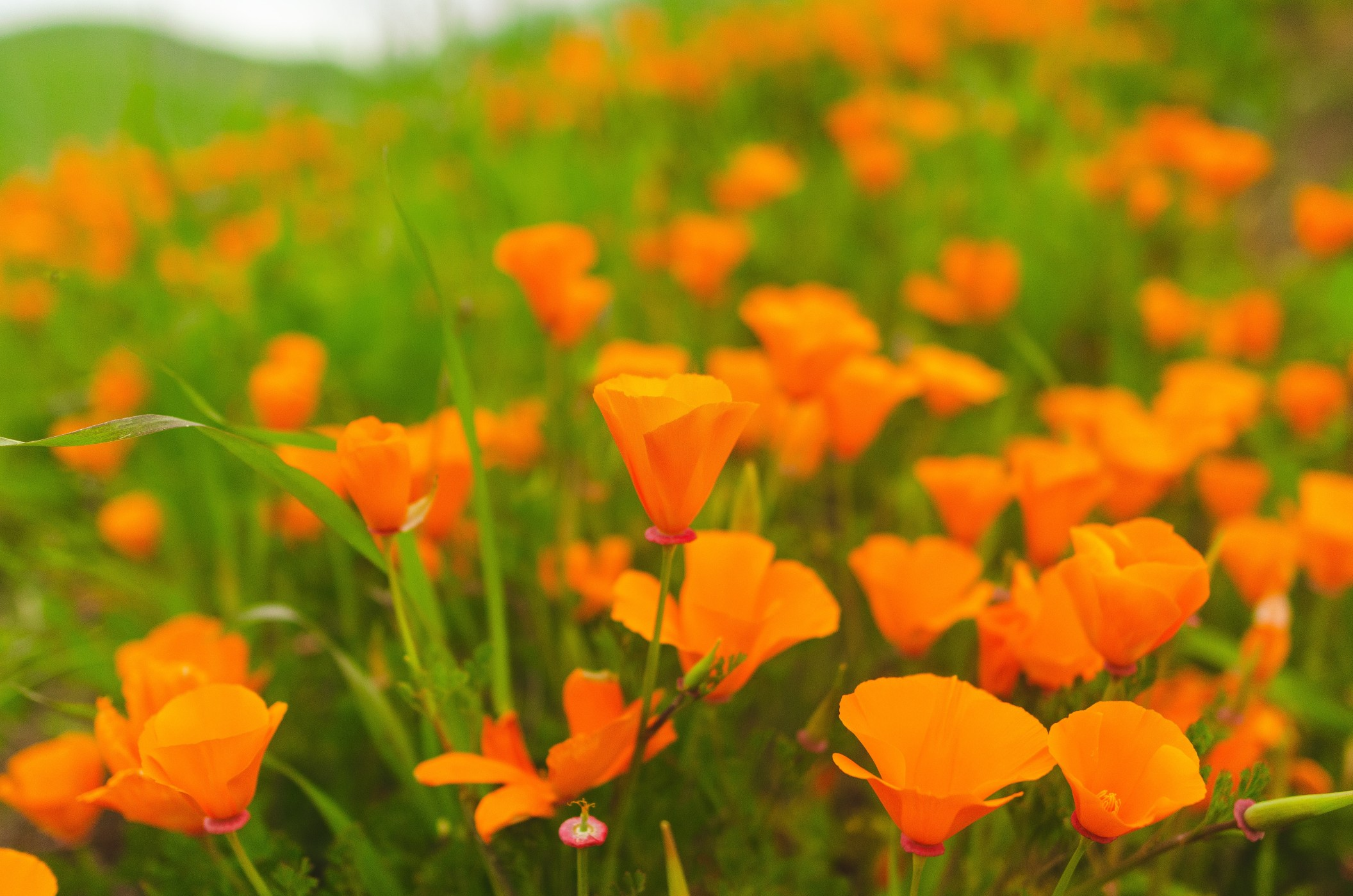 natural-background-of-a-bright-field-of-colorful-orange-california-poppies-in-springtime_t20_OzRBBg
